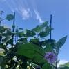 初心者の家庭菜園 2年目 ナス、オクラ、きゅうりの花が綺麗だった