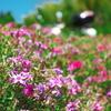 セローでプチツー 阿讃中央広域農道で芝桜(終わってた)、普賢象、ハナズオウ