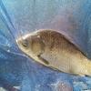 椎の木湖 ヘラブナ釣り セットで撃沈