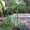 9/25 夏オクラ植えてみました。 45日目