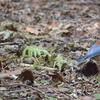 ジィちゃんと探鳥、伊香保森林公園でルリビタキが舞っていた/2020-11-19