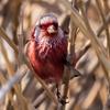 🐦野鳥の回【33】🆕 ベニマシコ(紅猿子)♂♀ 野鳥と野猫