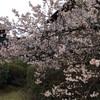桜でなくてさくらんぼ
