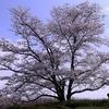 春の大和民俗公園(郡山市)枝垂桜もあります。