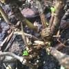 奇跡の芽 アジサイはまだ生きていた