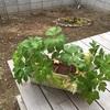 明日葉を庭に植え替えてみる