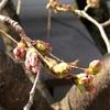桜から春を五感で感じる