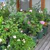 鉢植えバラがちらほらと・・・