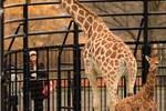 旭山動物園の冬季開園がスタート! キリンの赤ちゃんなどを観賞しました!