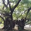 【静岡】家康が逃げ隠れた大楠がそびえる「浜松八幡宮」