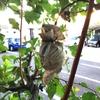 1ヶ月半前に新聞紙で作った袋かけリンゴを採集してきた