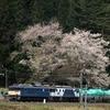 大きな枝下桜と電気機関車 須原駅 その2