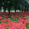 秋の風物詩、巾着田の曼珠沙華と自然に癒された1日。一休みでオーガニックカフェ「阿里山Cafe」/埼玉県日高市