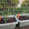 年長さんの野菜(トマト)植えてからの数日の様子