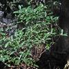 冬の山に咲くコショウノキ