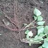 革新甘藷作法でサツマイモの植え付けを行いました!