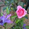 最初のバラ 5種は・・・