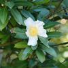 冬に咲く白い花