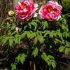 鶴岡八幡宮のぼたん園(神苑ぼたん庭園)で春ぼたんが見頃をむかえています。