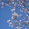 🌸播磨坂さくら並木の開花状況🌸