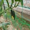 夏野菜の成長記②・キュウリが鳥にかじられた。