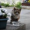 「タヌキ」という名の猫