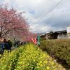 伊豆の河津桜は満開でした
