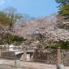 ここだけは見たい駿府城公園の桜
