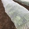 玉レタスとコカブの収穫