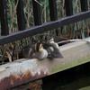 親水公園で現在見られるカルガモの雛