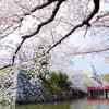姫路でお花見サイクリング  〜夢前川サイクリングロードと姫路城の桜〜