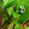 キュウリグサ 忘れな草そっくりの超ミニ花