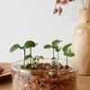 みかんの種。1ヶ月半後の成長と再生野菜