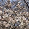 4/5 長居公園の桜