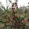 りんご狩りが始まりました!(シナノスイート)