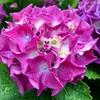 お庭の満開の紫陽花が雨に濡れて…