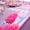 今年はまだ撮影していないサルスベリ♪湘南の街並みと♪