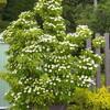 白い花のヤマボウシ