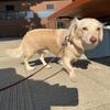 【チワックス】子犬から成犬へ成長した個体差・見た目と体重差について(チワワ寄りかダックスフンド寄りか)