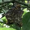 袋井市で庭の木にできたアシナガバチを駆除しました!黄色のハチが飛び回っていたら要注意です!