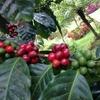【アナエロビコ(アナエロビック)はコーヒーなのか否か】コーヒーの精選処理方法の色々
