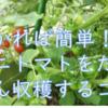 これさえ知っていればたくさん収穫できる、ミニトマト栽培のコツ