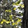 朝の杉林の中でⅡ