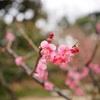 春告げる梅の紅色