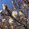 白梅咲き始めました