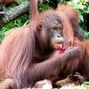 シンガポール動物園|予約推奨!オランウータンと朝食を食べた体験談