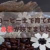 コーヒー土で育てたお花(水仙、ムスカリ、なでしこ)が咲きました!