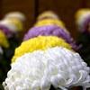 泉涌寺の献菊展2017。