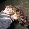 数は釣れませんでしたが良いサイズのガシラが釣れました