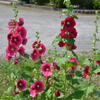 近所で見つけた花